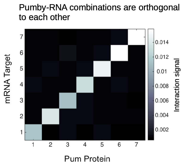 Programmable RNA-binding Proteins